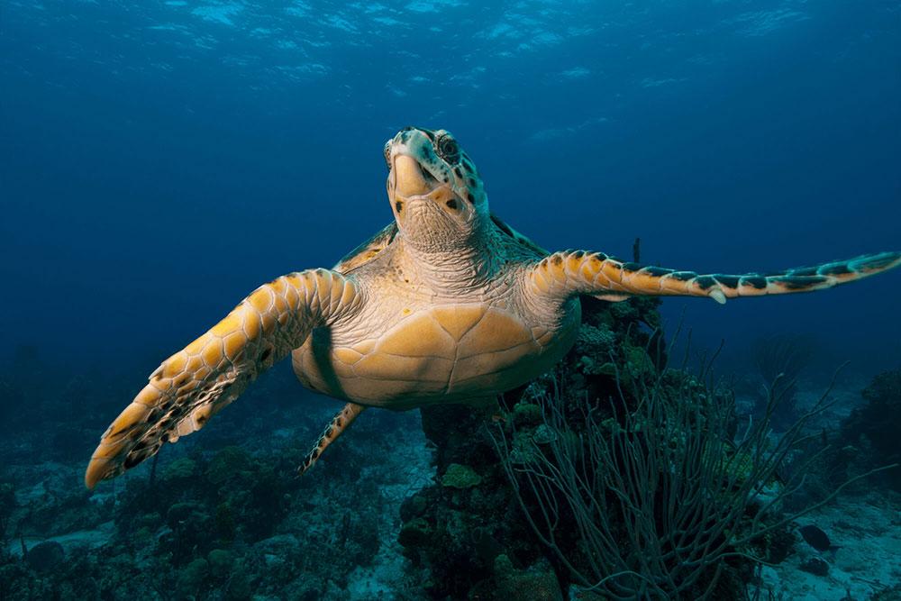 Hawksbill Turtle Flight