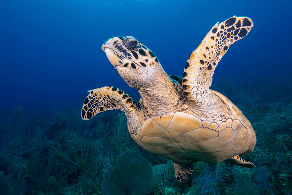 Hawksbill Turtle Flight 2