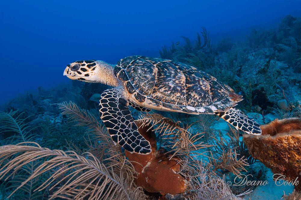 Hawksbill Turtle in Coral