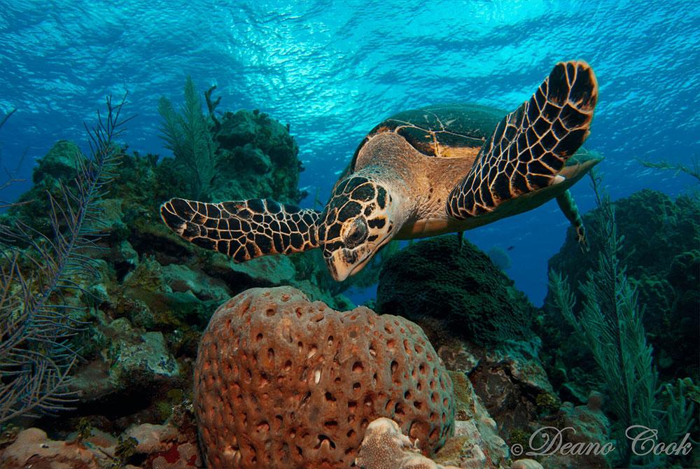 Hawksbill Turtle with Sponge 2