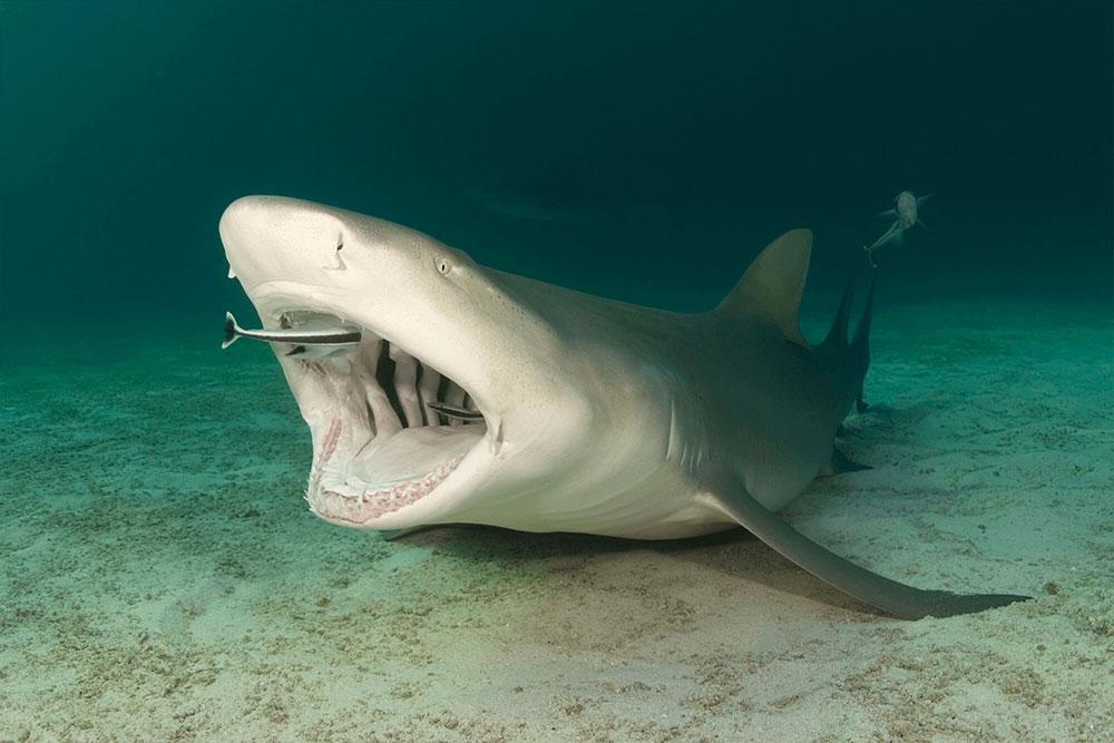 Lemon Shark Cleaned by Ramoras