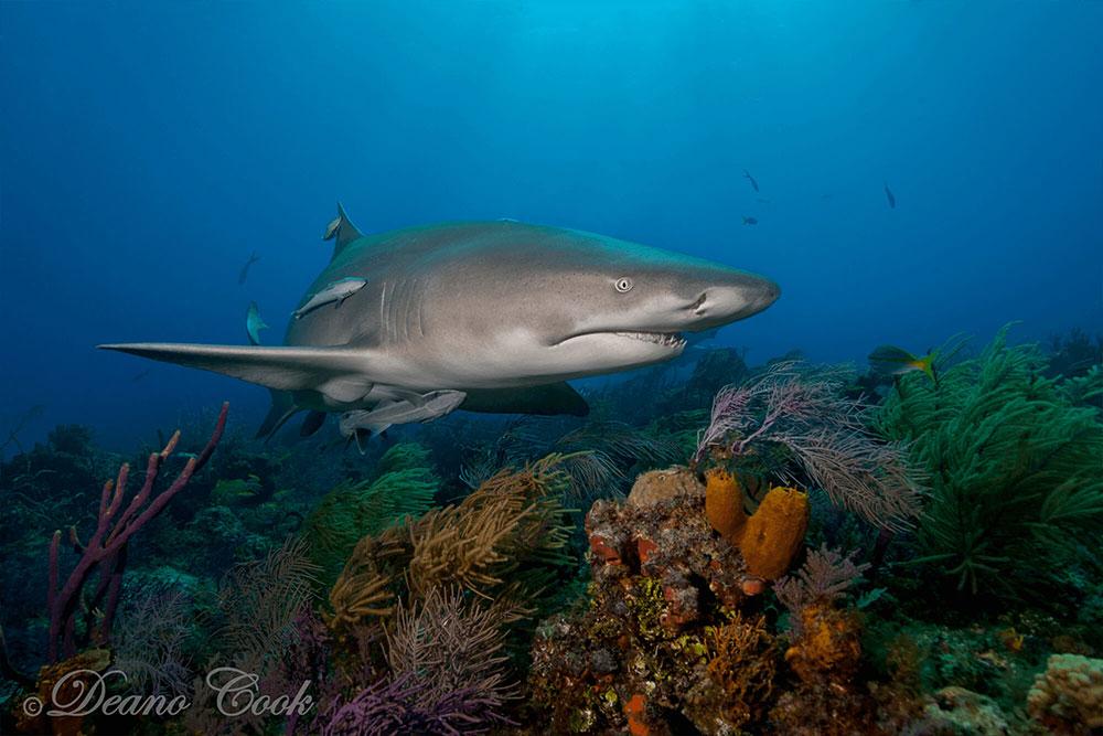 Lemon Shark over the Reef