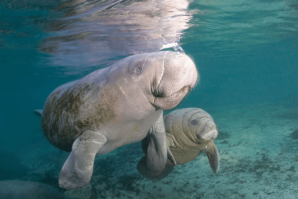 Manatee Mother and Child