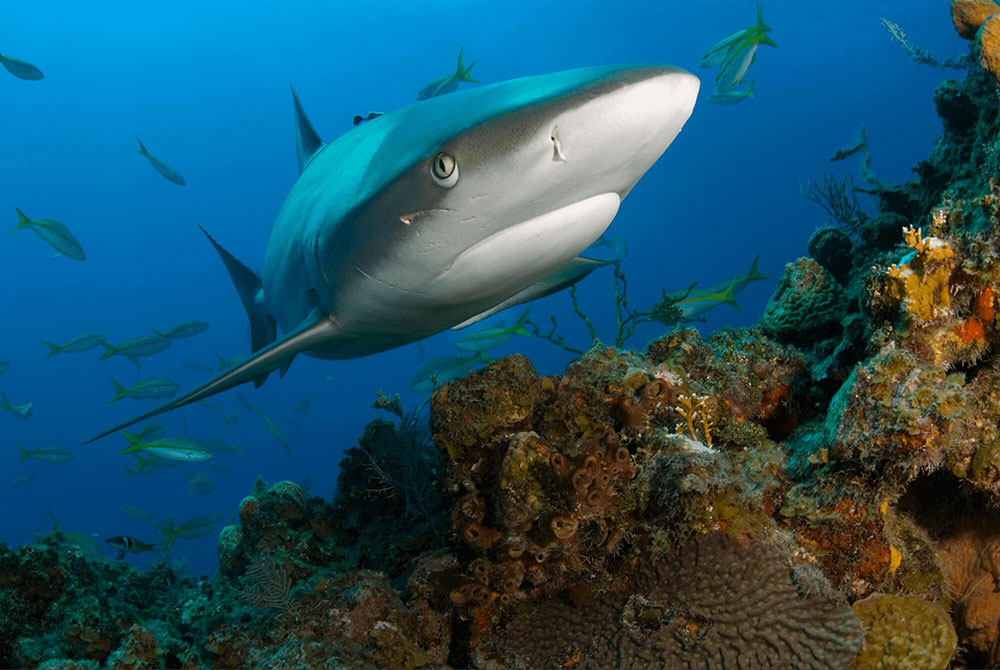 Reef Shark with Scar