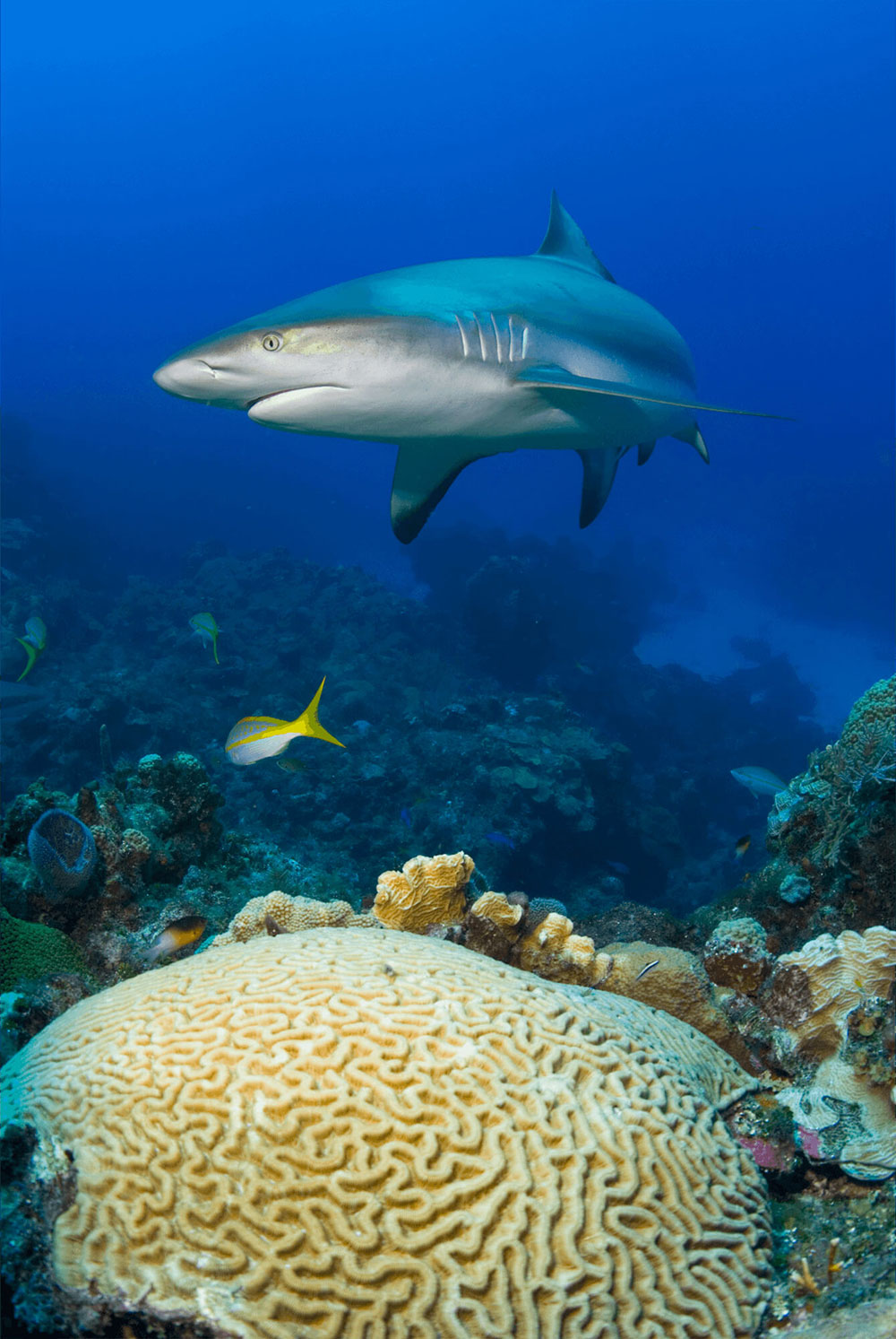 Reef Shark and Brain Coral