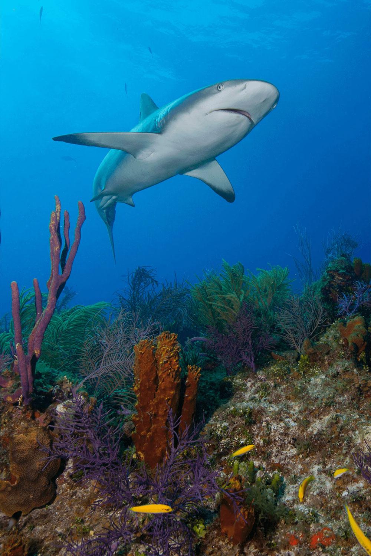 Reef Shark over Reefs