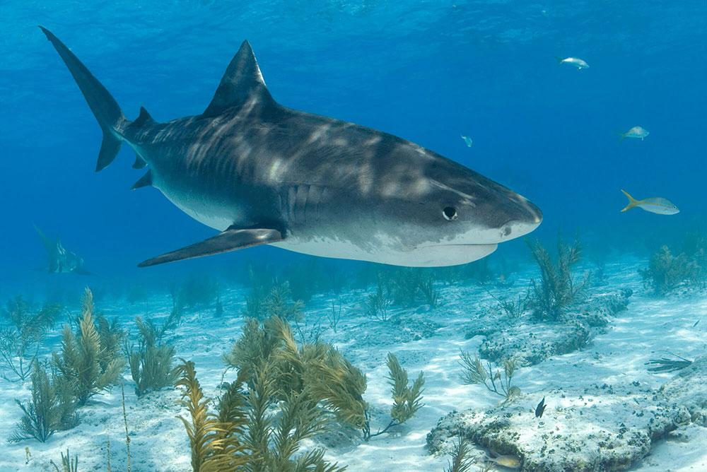 Tiger Shark in Sunlight