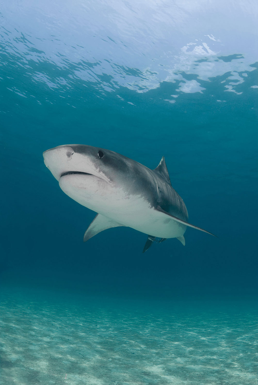 Tiger Shark Serenity
