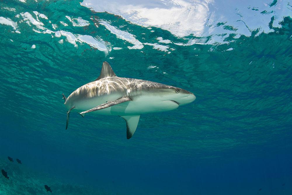 Great White Shark 2