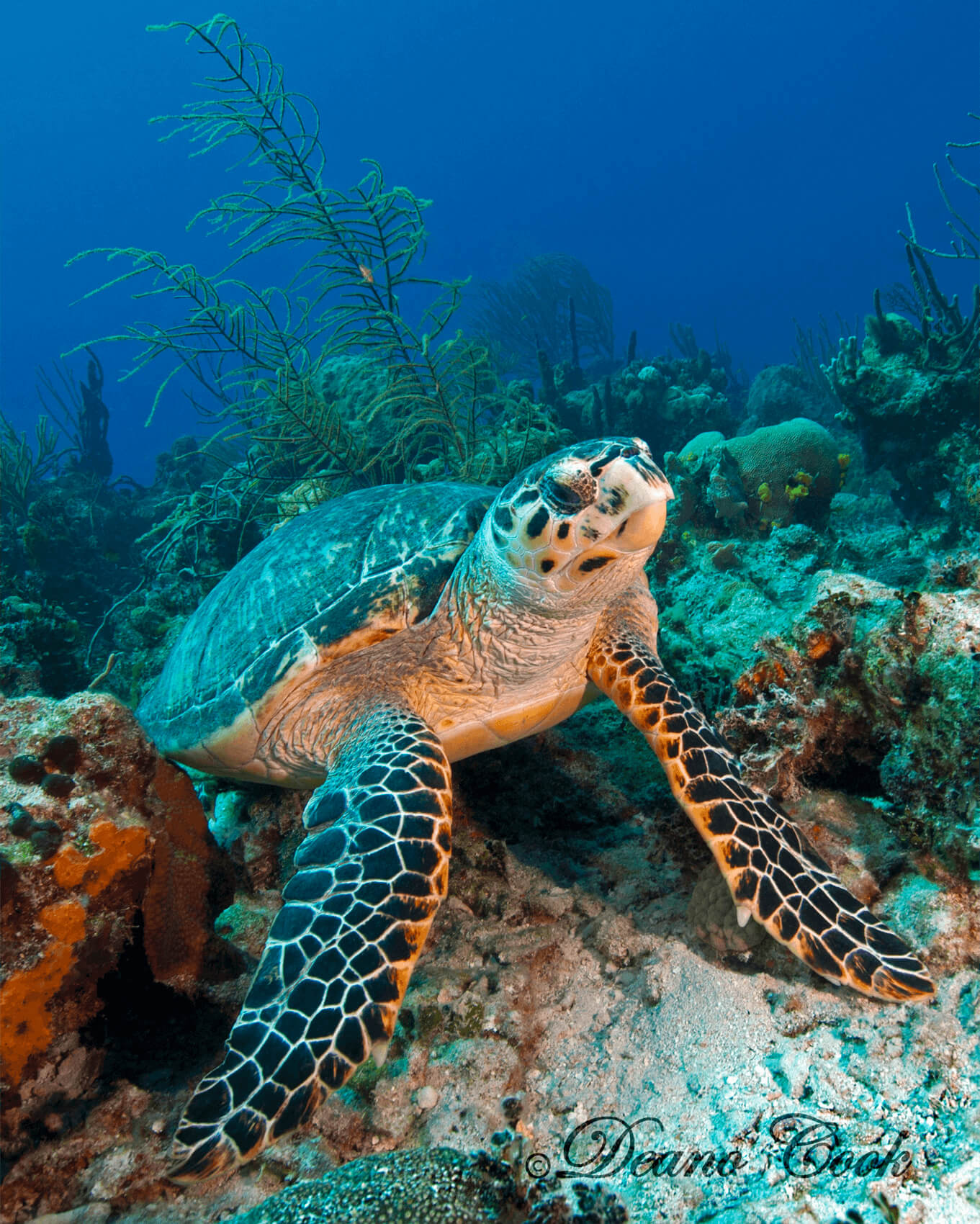 Hawksbill Turtle Sitting
