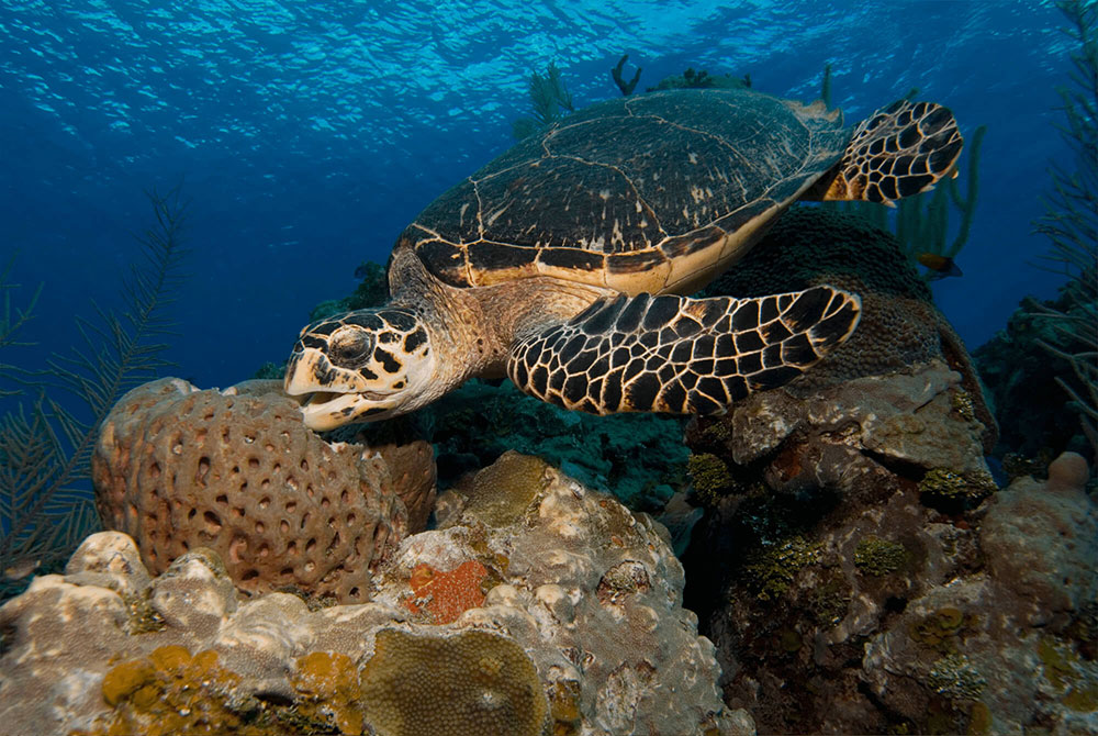 Hawksbill Turtle Eating Sponge