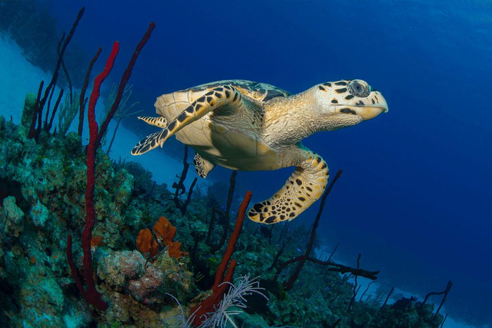 Hawksbill Turtle in Coral 2