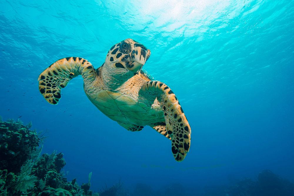 Hawksbill Turtle in Flight