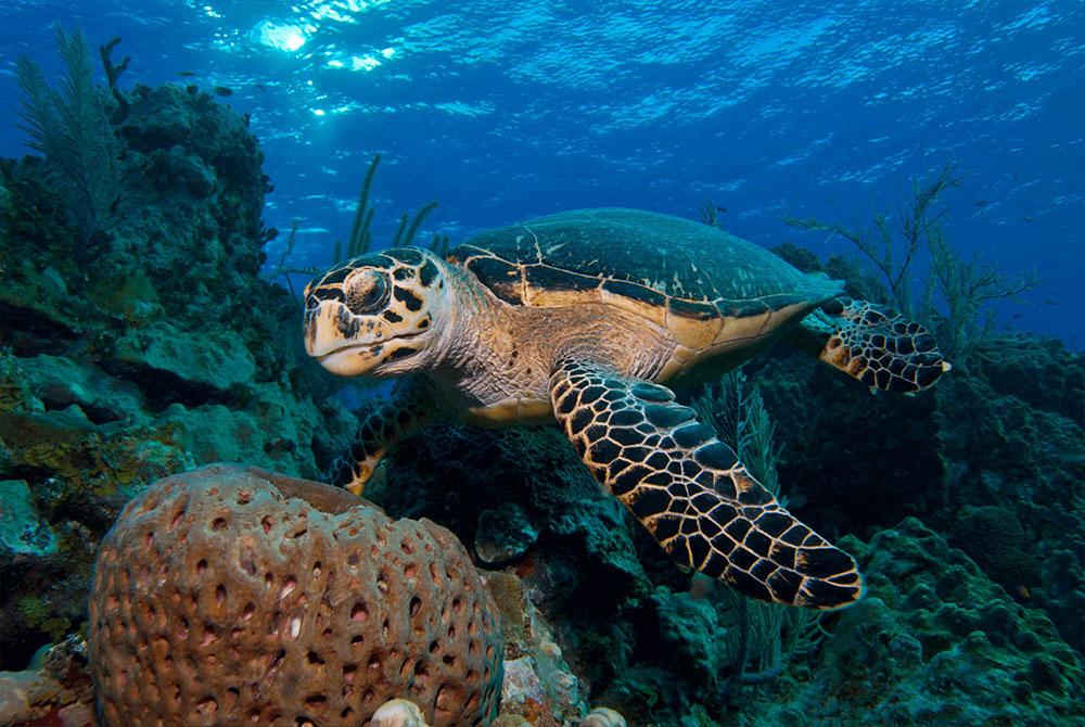 Hawksbill Turtle with Sponge