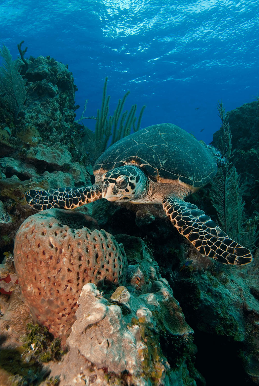 Hawksbill Turtle with Sponge 3