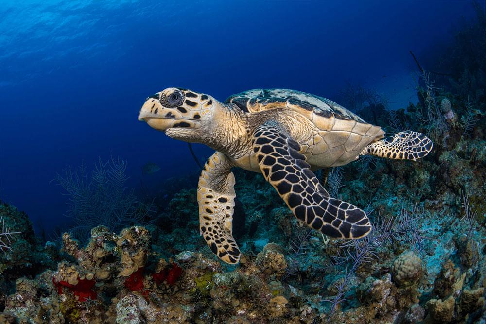 Hawksbills Turtle