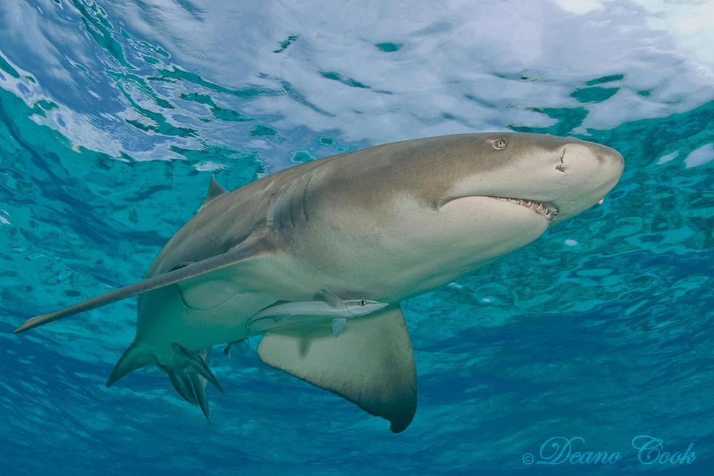 Lemon Shark Chrome Surface