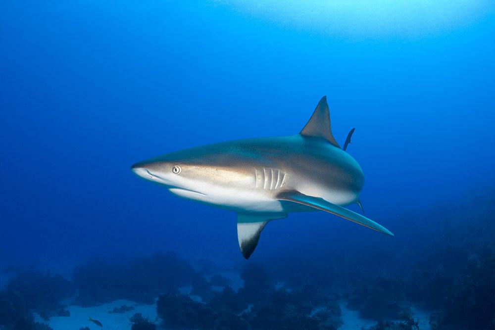 Reef Shark 90 Degrees