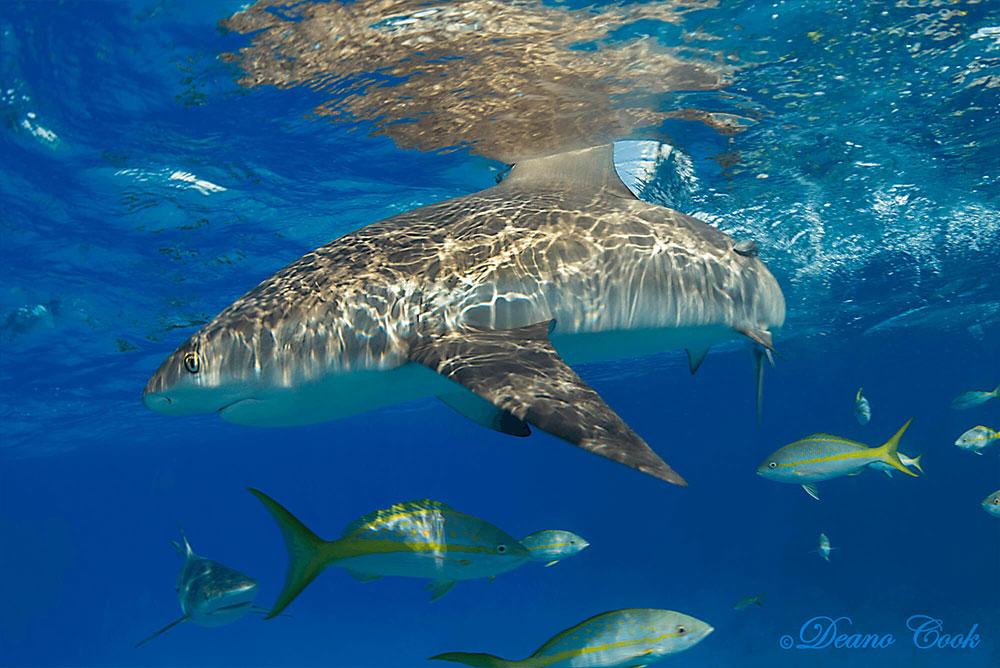 Reef Shark Surface Cut