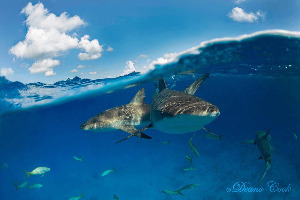 Reef Shark Wave Cove