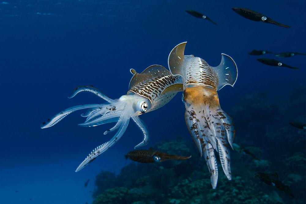 Reef Squids 2