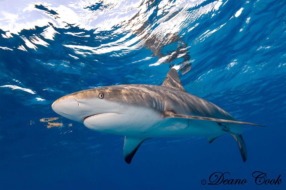 Reflecting Reef Shark