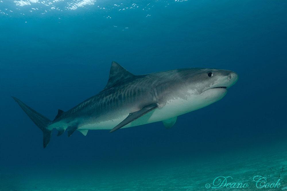 Tiger Shark 4