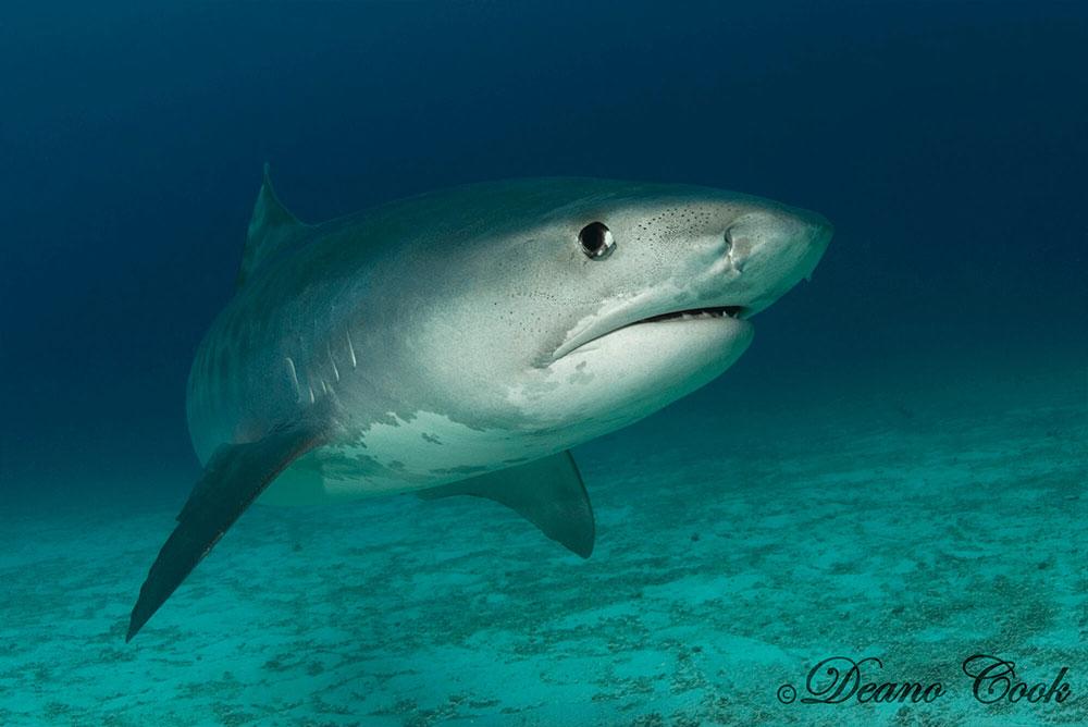 Tiger Shark Close Up