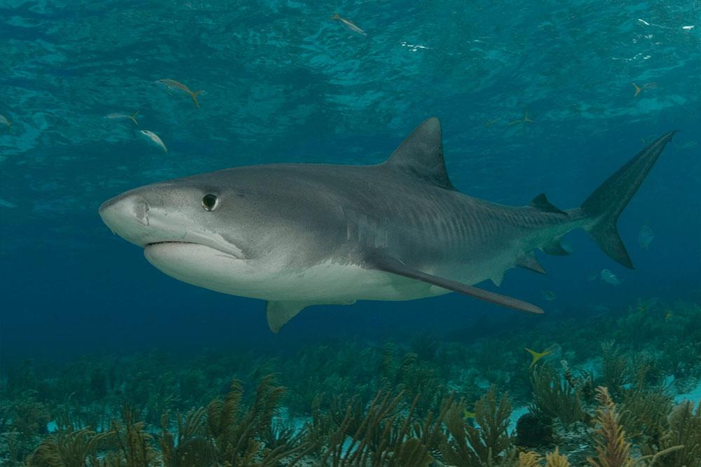 Tiger Shark Lurking