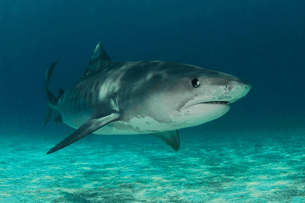 Tiger Shark Stalker